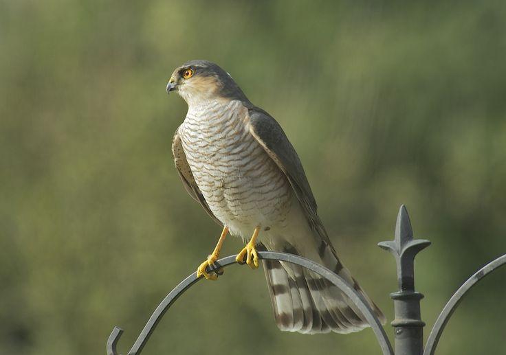 Baby sparrow hawk - photo#45