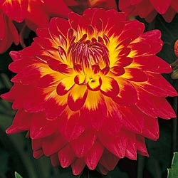 Breck's Procyon everblooming dinnerplate dahlia...as a container plant for the front porch
