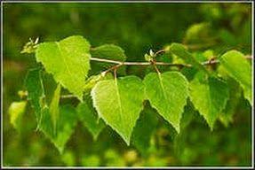 березовые листья, как избавиться от отечности, как снять отечность, как снять отечность ног, как убрать отечность ног, отёчность конечностей...