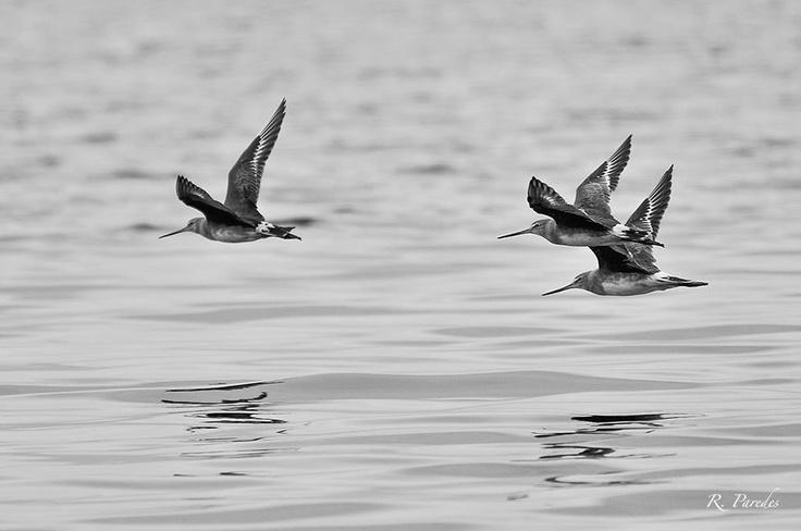 Tres chorlos de pico recto en vuelo