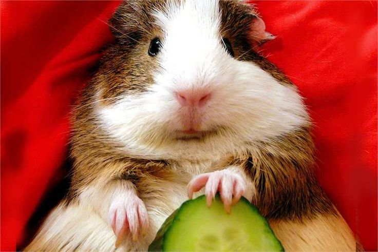 Have you tried petting a Guinea pig? Can they eat cucumbers? Tell us.