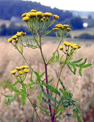 Renfana, Tanacetum vulgare - Blomväxter - NatureGate
