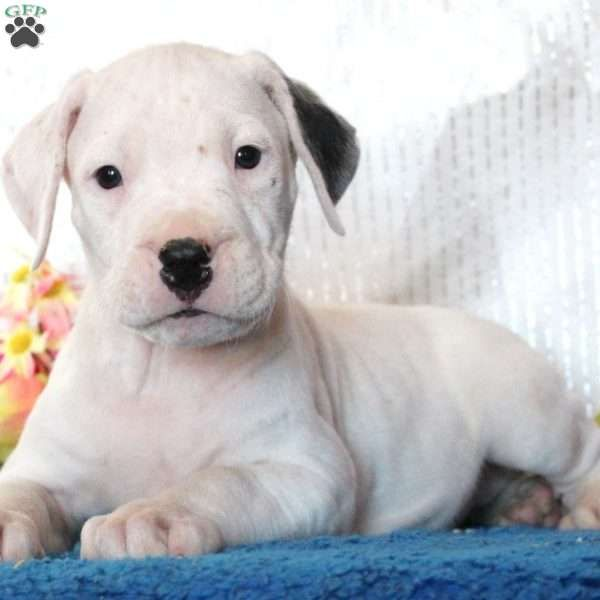 Brave Dogo Argentino Puppy For Sale In Pennsylvania In 2020 Dog Argentino Puppies Puppies For Sale