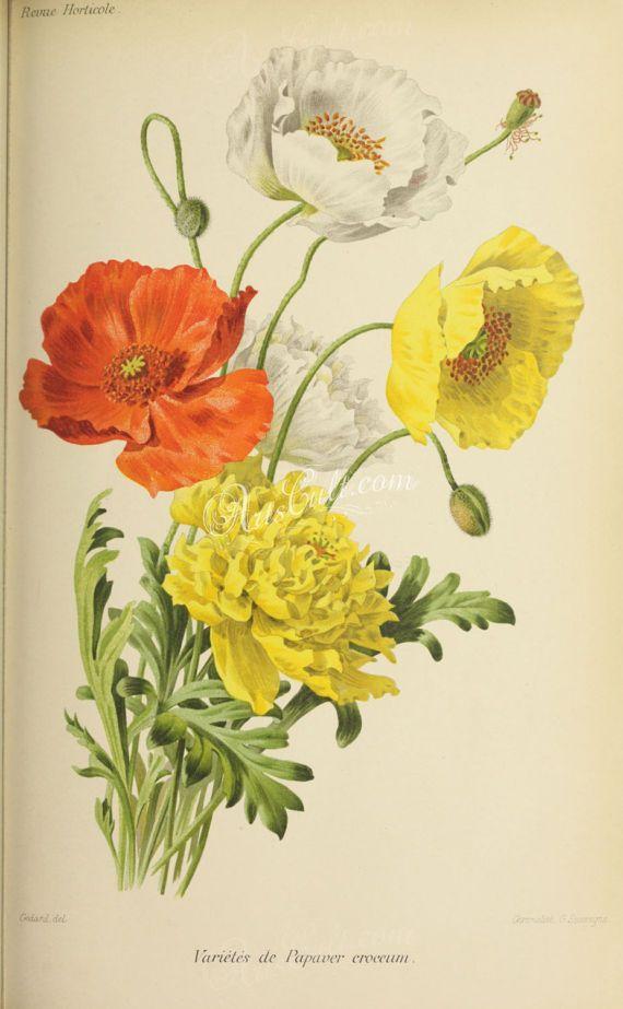 flowers-28247  papaver croceum ice poppy red orange white