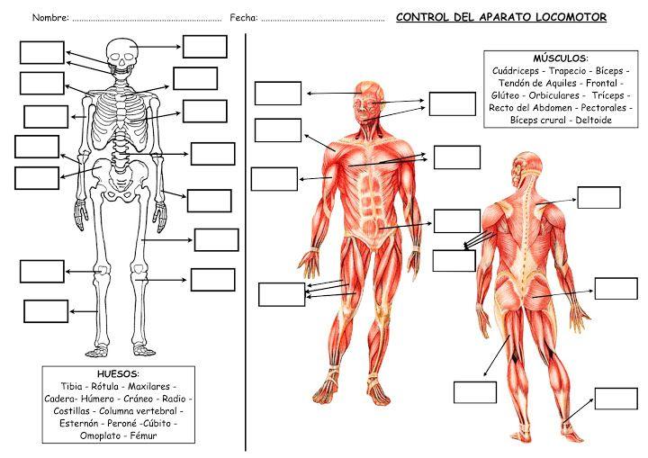 Con estas fichas del aparato locomotor humano, el alumno podrá conocer los nombres de los distintos huesos y músculos que forman parte del ...