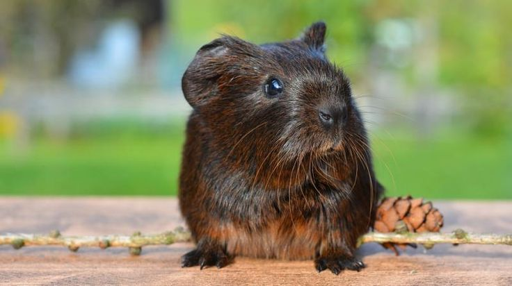 #Pet guinea pigs could be causing pneumonia - Deccan Chronicle: Deccan Chronicle Pet guinea pigs could be causing pneumonia Deccan…