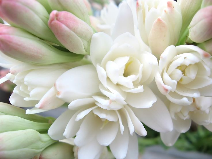 Best in Show: Tuberose 2017