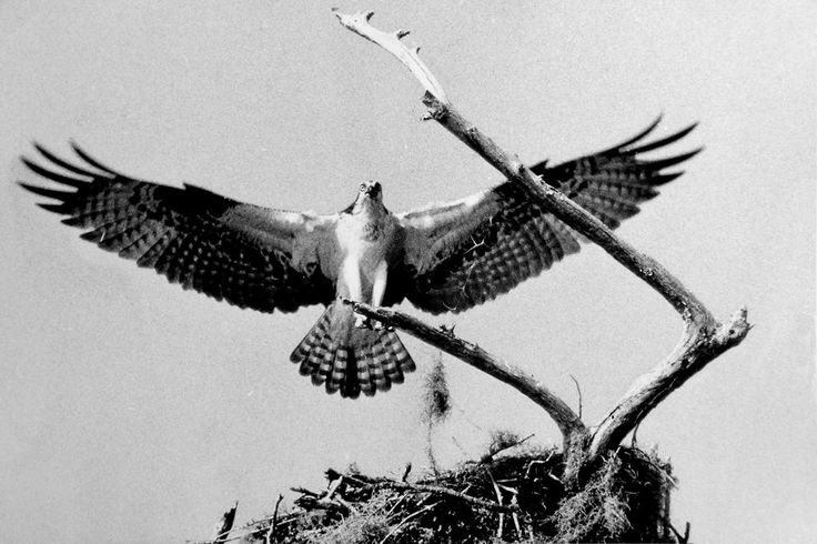 Osprey in North Florida | Earl J Warren Jr Archives