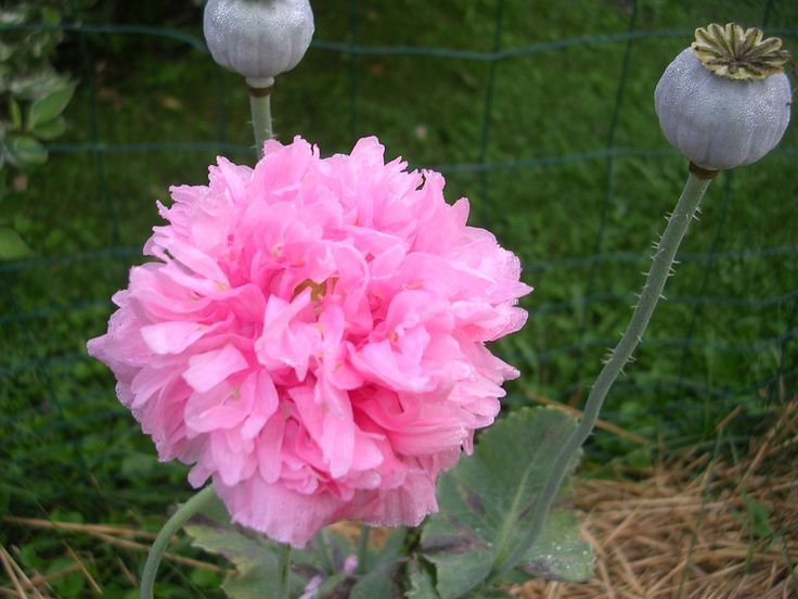 how to grow poppies outdoors