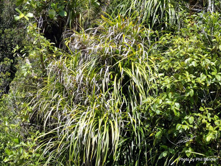Astelia fragrans - Bush lilly/ Bush flax/ Kakaha