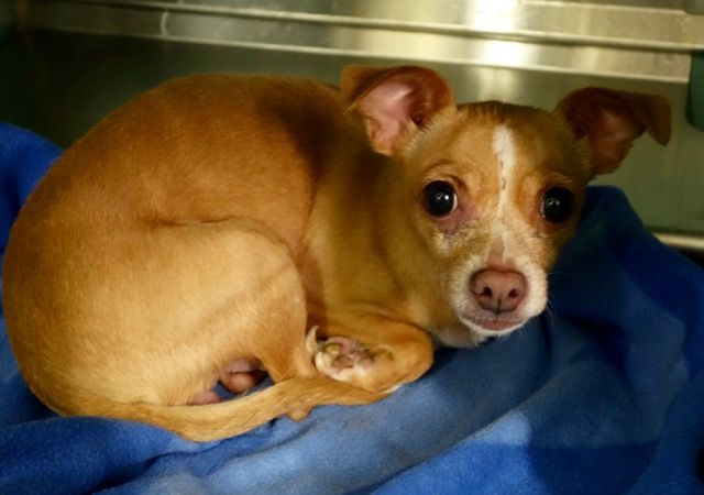 OWNER DIED- SUPER URGENT -RESCUE ONLY-JOY – A1100090  , TAN / WHITE, CHIHUAHUA SH MIX, 5 yrs STRAY – OWNER DIED