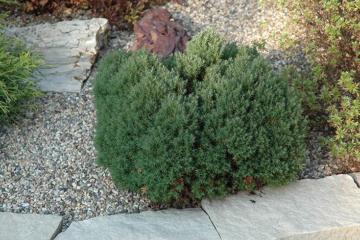 325 best images about evergreen shrubs on pinterest. Black Bedroom Furniture Sets. Home Design Ideas