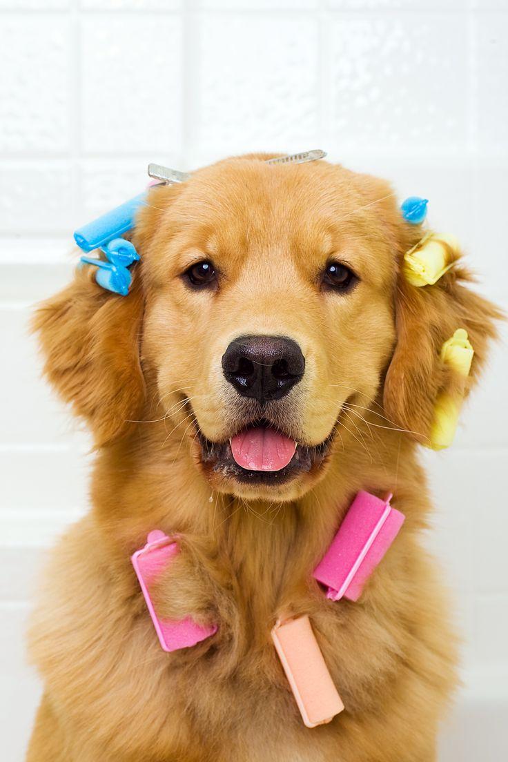 #Cursos de #Peluquería y #Estética #Canina http://www.cursosccc.com/a-distancia/curso-peluqueria-canina?codigo=ADAZ&utm_source=red-social&utm_medium=pinterest&utm_term=foto&utm_content=Curso-Peluquer%C3%ADa-Est%C3%A9tica-Canina&utm_campaign=ADAZ