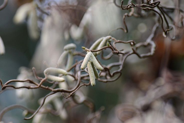 Catkins. #trees #butchartgardens #winter