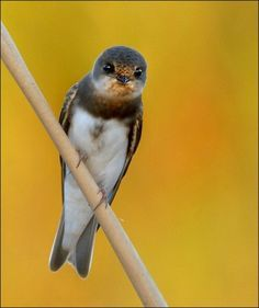 Sand martin at RSPB Old Moor on 27th April 2014
