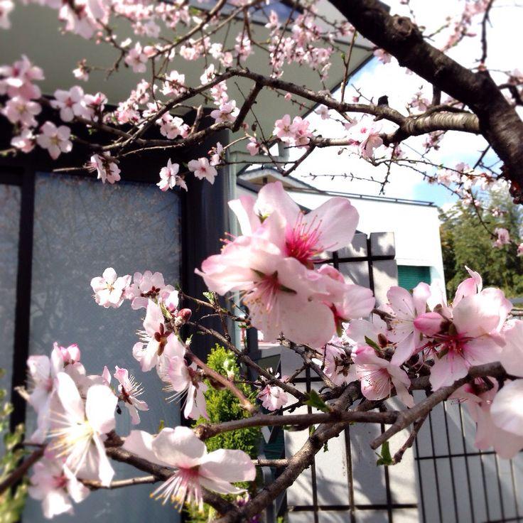 冨士屋製菓本舗の事務所前のアーモンドの花 2016