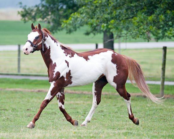 American Paint Horse | apha-horsetrotting2 (c)American Paint Horse Association
