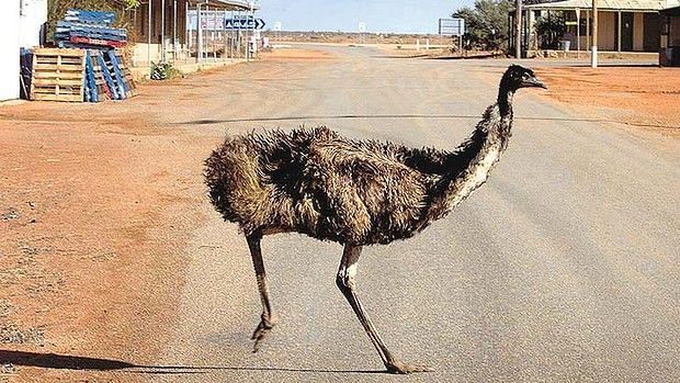 An emu crossing the road in White Cliffs, western NSW. Its not uncommon to see emus and kangaroos ambling along the main street of this outback opal town