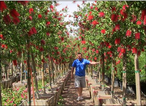 Huge Bottlebrush Trees reach 5-7 feet tall