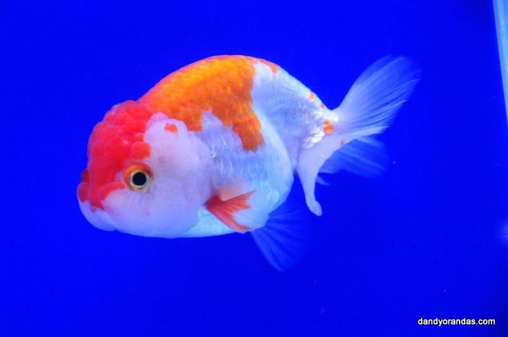 1000 images about gathering of goldfish on pinterest for What fish can live with goldfish