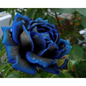 The most beautiful flower I have ever seen! Midnight Supreme Rose Bush Flower Seeds 10 Stratisfied Seeds. I love this rose and want it.