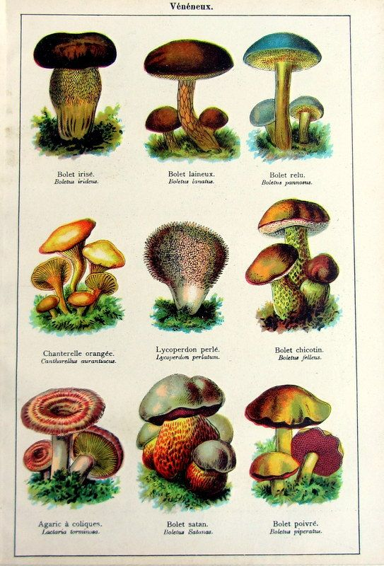 Rare Vintage poisonous MUSHROOMS print, 1907. On etsy. So beautiful, so deadly.