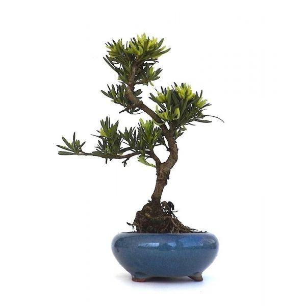 Acheter un Bonsai d'intérieur. Podocarpus, Bonsai d'intérieur recommandé aux débutants, un Bonsaï très facile d'entretien 140401