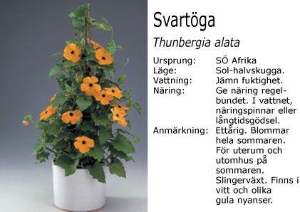 Thunbergia alata - Svartöga