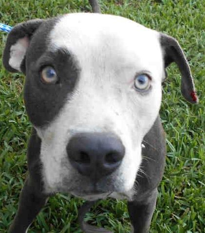 ***URGENT! 1/9/17  RADAR (A1842331) I am a male gray and white Bulldog mix. The shelter staff think I am about 3 years old and I weigh 51 pounds. I was confiscated and I may be available for adoption on 01/10/2017. — Miami Dade Animal Services Pet Adoption and Protection Center. https://www.facebook.com/urgentdogsofmiami/photos/a.477521308948944.116125.191859757515102/1421735111194221/?type=3&theater
