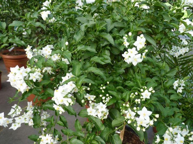 Solanum jasminoides Αειθαλές αναρριχώμενο φυτό με πράσινα φύλλα και λευκά αρωματικά άνθη το καλοκαίρι και το φθινόπωρο. Έχει μικρές απαιτήσεις σε νερό. Φυτεύεται σε φράχτες και πέργολες. Πολλαπλασιάζεται με μοσχεύματα.