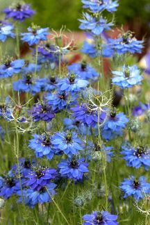 "Nigella 'Miss Jekyll Blue' is easy to grow and reliable. The sky-blue flowers bloom in June, making it a nice companion plant for roses and Asiatic lilies. The seed pods are used in dried flower arrangements, and the seeds are edible. Nigella damascena 'Miss Jekyll' is our most valued blue self-seeder."" They use it to fill in the gaps between other plants.  height 18"" Deer resistant"