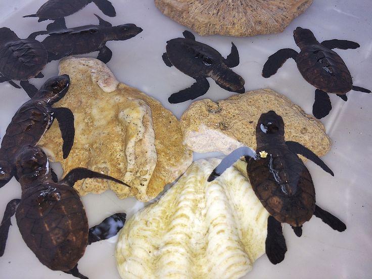 Onong Resort Siladen . Baby Turtles . Celebes Divers