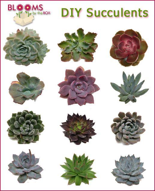 Succulent Types: Wholesale Wedding Flowers