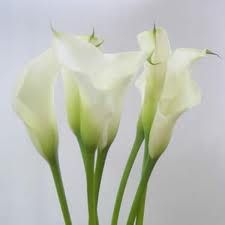 the extraordinary funnel or trumpet shaped waxy flowers of a calla lily grow on tall - Tall Flowering House Plants