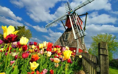 Windmill and tulips wallpaper