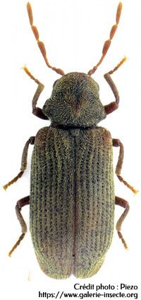 16 La Vrillette Anobium Punctatum Vrillette Xestobium Rufovillosum Grande Vrillette Apres L Accouplement La Femel Insecte Bois Insectes Vers De Bois