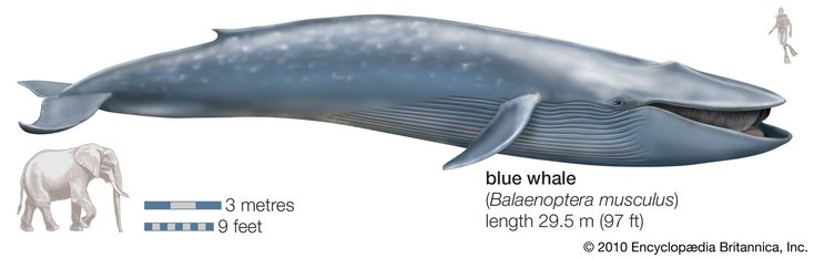 Blue whale's size compared to elephant & human