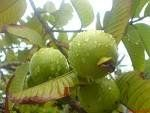 *7 DWARF SWEET APPLE GUAVA SEEDS*rare* #1013:Amazon:Patio, Lawn & Garden