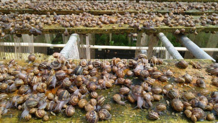 Snail Breeding Commercial Snail Farming Services Snail