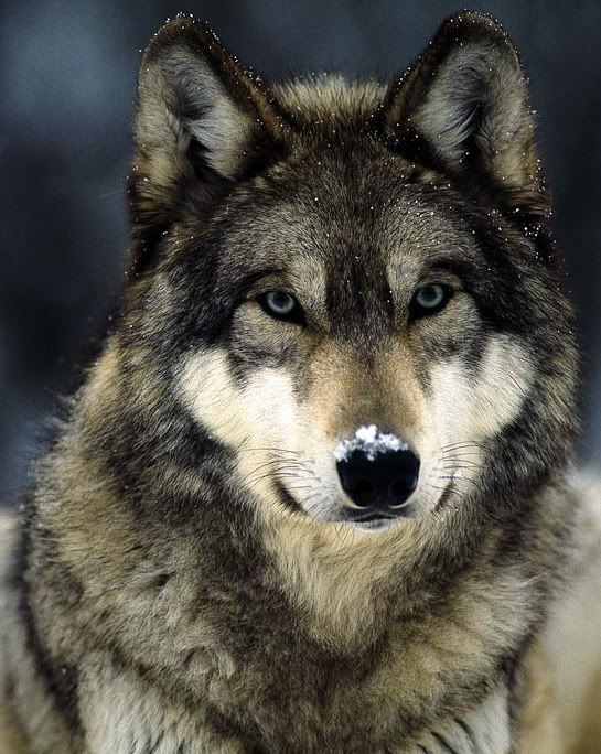 The gray wolf or grey wolf is a species of canid native to the wilderness and remote areas of North America, Eurasia, and North Africa. It is the largest member of its family, with males averaging 43–45 kg, and females 36–38.5 kg