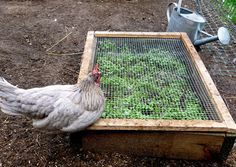 DIY Chicken Salad Bar - Serve your chickens some nutritious greens, right in their coop. They'll love it.
