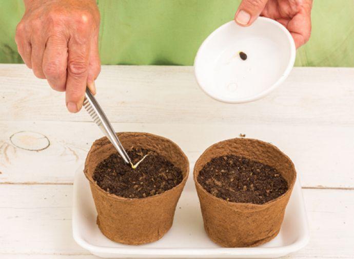 К посеву на рассаду семян арбуза рекомендуется приступить примерно в середине апреля