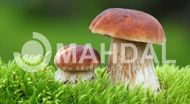 Internetový obchod a přímý prodejce se sadbami hub, zejména lesní houby, hřiby, pýchavka, hlíva, bedle, reishi, shii také. Využijte akce 2+1 za zvýhodněnou cenu a dopravu zdarma