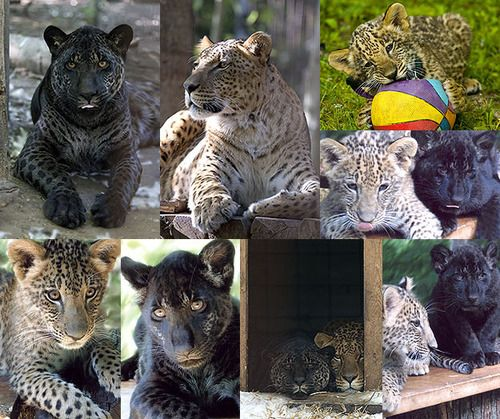 Jazhara and Tsunami are two jaglions. They have a jaguar father and a lion mother.    They might be the only jaglions in the world.