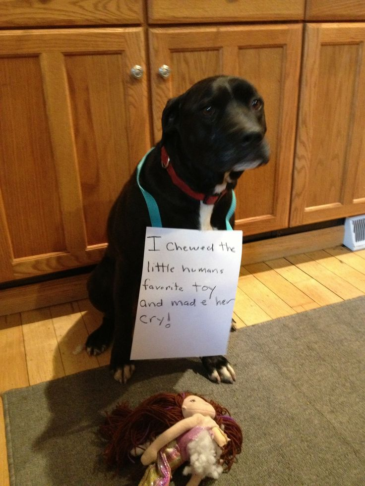 I Chewed The Little Human S Favorite Toy And Made Her Cry Dog Shaming Funny Dog Pictures
