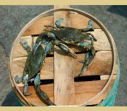 Blue Crab, Hard Shell Crabs, Bushel Of Crabs, Buy Crab, Maryland Blue Crabs Shipped