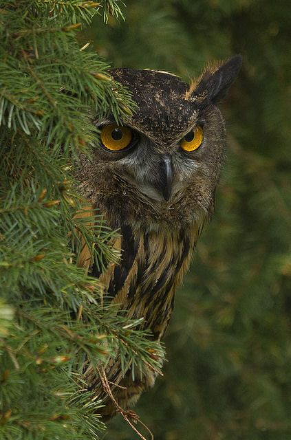 I have a fascination with owls and I love the yellowish orange eyes on this one. Have a great weekend. via