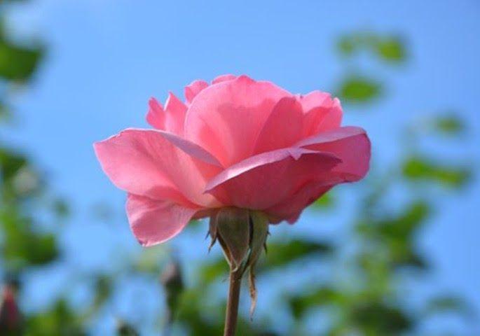 Gambar Bunga Mawar Fakta Tentang Bunga Mawar Uphillwriting Org Foto Stok Gratis Tentang Background Hitam Daun Bunga Mawar Di 2020 Bunga Mawar Cantik Kembang Sepatu