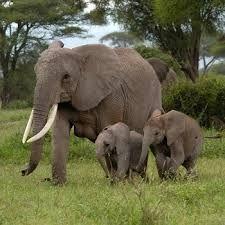 de afrikaanse olifant is het grootste landzoogdier ter wereld en kan wel 7000 kilo worden. de olifant wordt geminddeld 60 jaar oud.