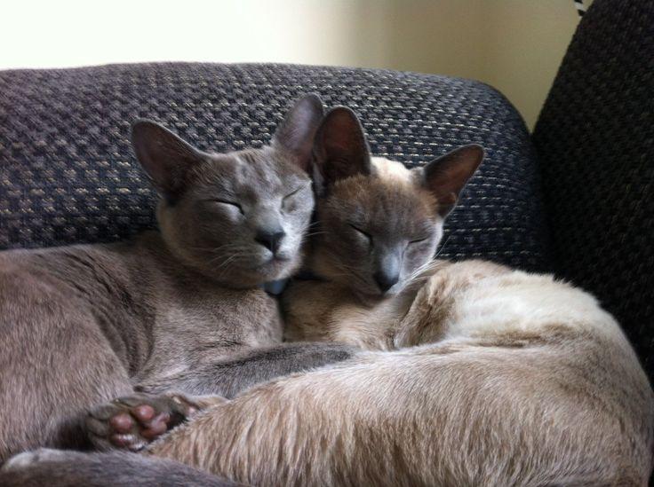Gato tonquinês. GatosMania.com